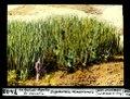 ETH-BIB-La Salud-Agaëte, Gran Canaria, Euphorbia canariensis-Dia 247-07408.tif