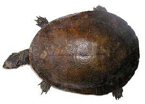 Murray River turtle - Image: E macquarii type 2 380