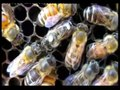 File:East-Learns-from-West-Asiatic-Honeybees-Can-Understand-Dance-Language-of-European-Honeybees-pone.0002365.s006.ogv