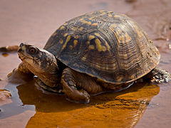 Eastern Box Turtle-27527-1.jpg