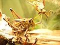 Eastern Lubber Grasshopper 06.jpg