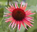 Echinacea (3710707778).jpg