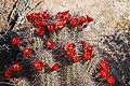 Echinocereus coccineus subsp. coccineus (17078772211).jpg