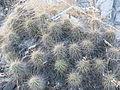 Echinocereus stramineus (5663357661).jpg