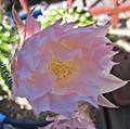 Echinopsis oxygona - gros plan de la fleur.jpg
