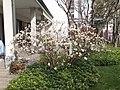 Edgeworthia chrysantha Monza 01.jpg