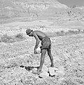 Een landbouwer maakt zijn akker vrij van stenen alvorens te gaan ploegen bij de , Bestanddeelnr 255-2736.jpg