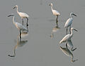 Egrets in AP W2 IMG 4222.jpg