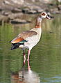 Egyptian Goose, Alopochen aegyptiacus in Kruger Park (20321324805).jpg
