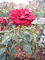 El Retiro de Rosas - panoramio.jpg