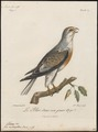 Elanus melanopterus - 1796-1808 - Print - Iconographia Zoologica - Special Collections University of Amsterdam - UBA01 IZ18200374.tif