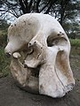 Elephant skull at Serengeti National Park.jpg