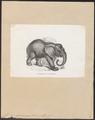 Elephas africanus - 1700-1880 - Print - Iconographia Zoologica - Special Collections University of Amsterdam - UBA01 IZ22000107.tif