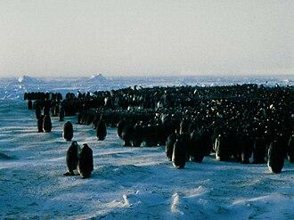 Emperor penguin - Emperor penguin colony