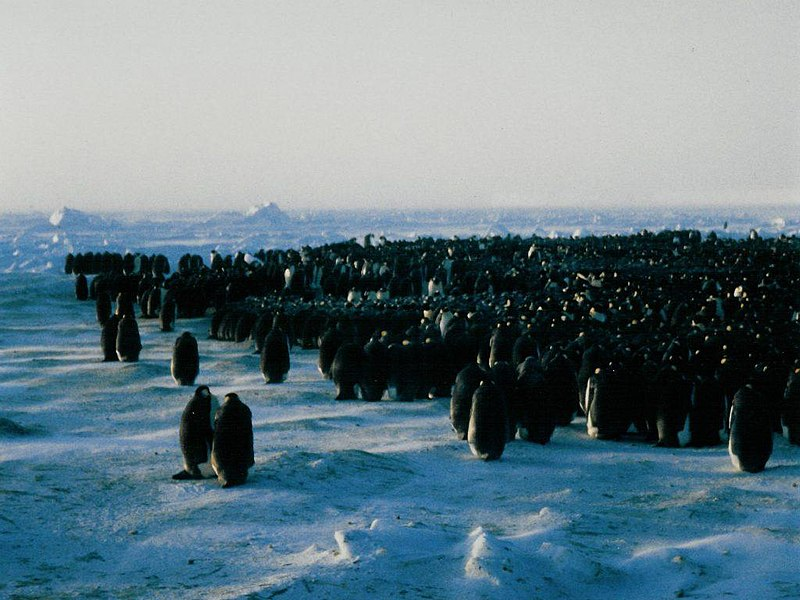 File:EmperorPenguinColonyClose.jpg