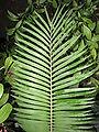 Encephalartos villosus Lehm. - listy.JPG