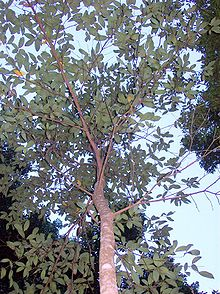 Endiandra introrsa small tree.jpg