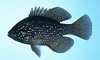 Enneacanthus gloriosus.jpg