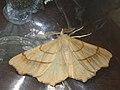 Ennomos quercinaria - August thorn - Угловатая пяденица дубовая (39115447710).jpg