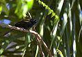 Epaulet Oriole (Icterus cayanensis)-6.jpg