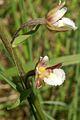 Epipactis palustris PID1308-2.jpg