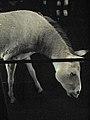 Equus hemionus onager 01 by Line1.JPG