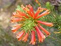 Erica abietina ssp. aurantiaca Baines Kloof (2).jpg