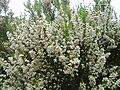 Erica arborea 2 (Picos).JPG