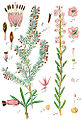 Ericaceae spp Sturm48.jpg