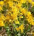 Ericameria laricifolia 7.jpg