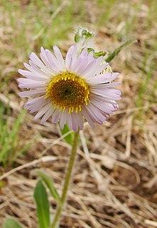 <i>Erigeron pulchellus</i> species of plant