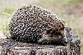 Erinaceus roumanicus.jpg