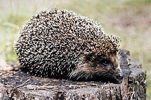 Northern white-breasted hedgehog - Image: Erinaceus roumanicus