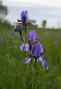 Eriskirch-IrisSibirica1-Asio