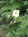 Erodium chrysanthum flower.jpg