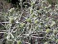 Eryngium campestre (inflorescences) 2.jpg