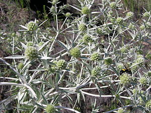 Eryngium campestre - Erygium campestre in Russia in the vicinity of Saratov