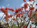 Erythrina abyssinica 1 (1).jpg