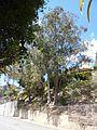 Eucalyptus camaldulensis Dehnh. - 2013 000.jpg