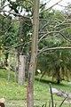 Eucalyptus deglupta 23zz.jpg