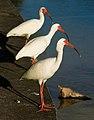 Eudocimus albus trio.jpg