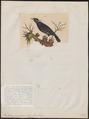 Eulabes javanensis - 1700-1880 - Print - Iconographia Zoologica - Special Collections University of Amsterdam - UBA01 IZ15800023.tif