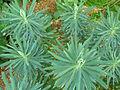 Euphorbia characias 2011.jpg