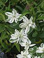 Euphorbia marginata (9896414053).jpg