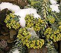 Euphorbia myrsinites3 ies.jpg