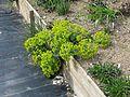 Euphorbia myrsinites reddish form - Flickr - peganum.jpg