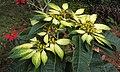 Euphorbia pulcherrima 04.JPG