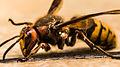 European-Hornet.jpg