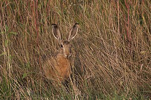 European Hare camouflaged in its natural environment