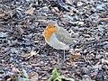 European Robin on Wood Chippings.jpg